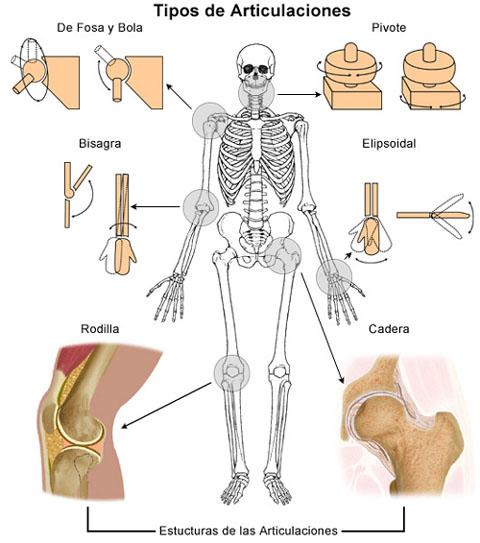 Tipos de articulaciones diartrosis