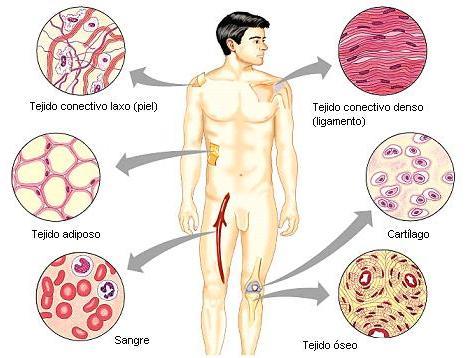 El cuerpo humano: Generalidades de los tejidos.(histologia)